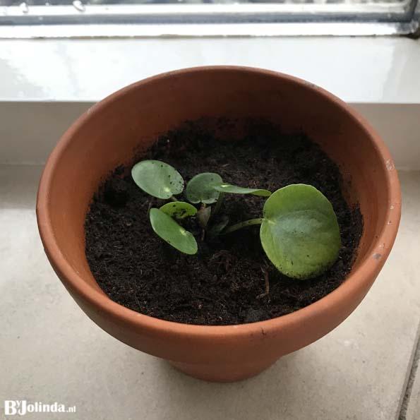 pannenkoekenplant stekje