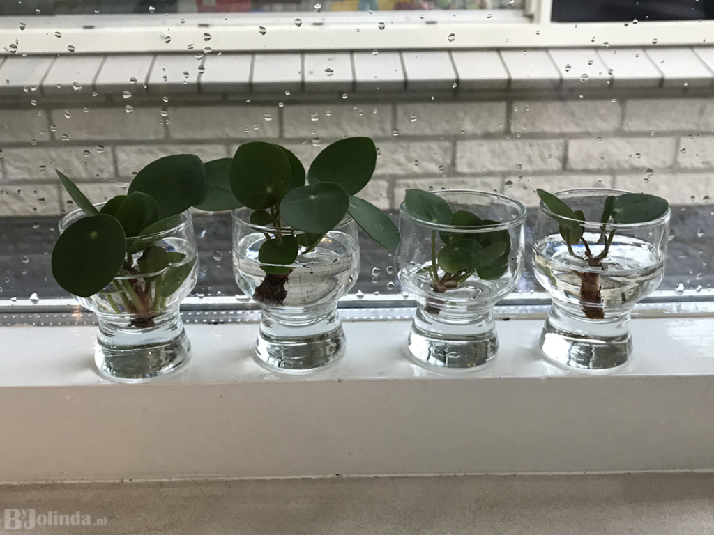 Pannenkoekenplant stekjes
